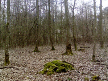 Tree stump surrounded by a rough circle of trees.
